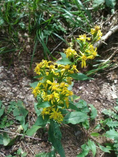 Solidago virgaurea I fiori delle Dolomiti Agordine