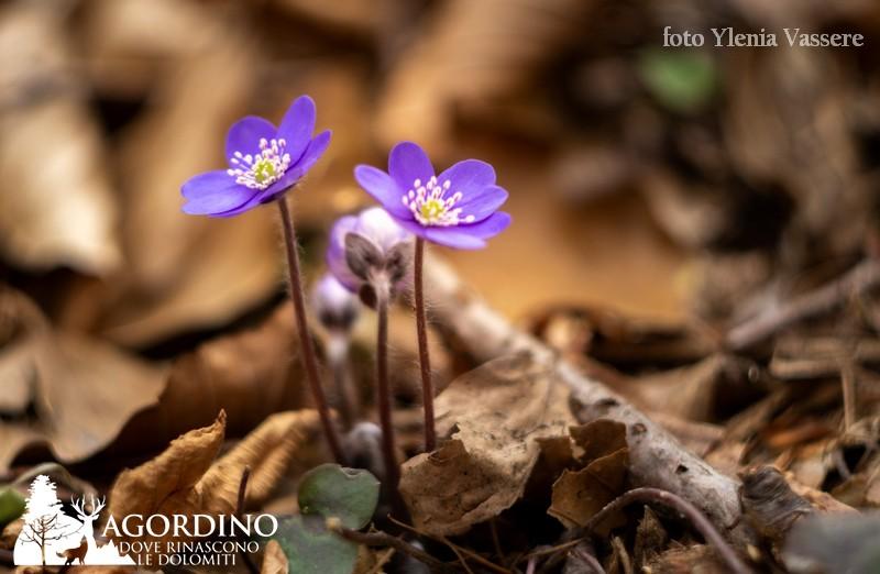 Anemone epatica (Hepatica nobilis)- I Fiori delle Dolomiti Agordine
