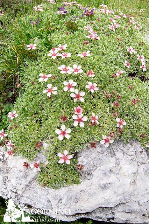 Cinquefoglia delle Dolomiti - I Fiori delle Dolomiti Agordine
