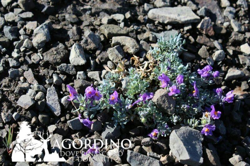 Linaria alpina- I Fiori delle Dolomiti Agordine