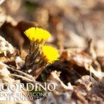 Tossilaggine - I Fiori delle Dolomiti Agordine