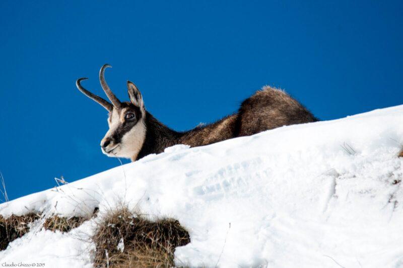 Camoscio - Fauna delle Dolomiti