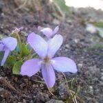 Viola Mammola - Fiori delle Dolomiti agordine
