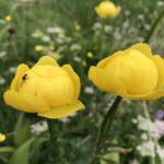 Botton d'oro - I fiori delle Dolomiti Agordine