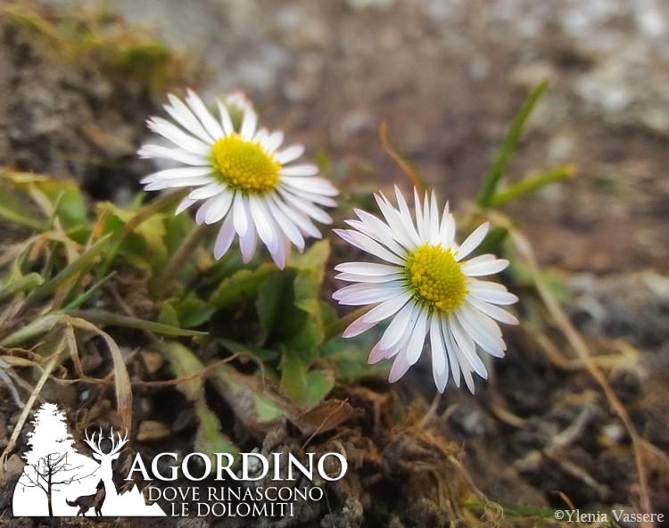 Pratolina - Fiori delle Dolomiti Agordine
