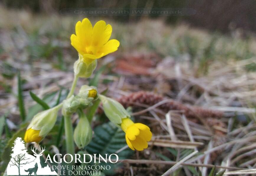Primula I fiori e le piante delle Dolomiti Agordine
