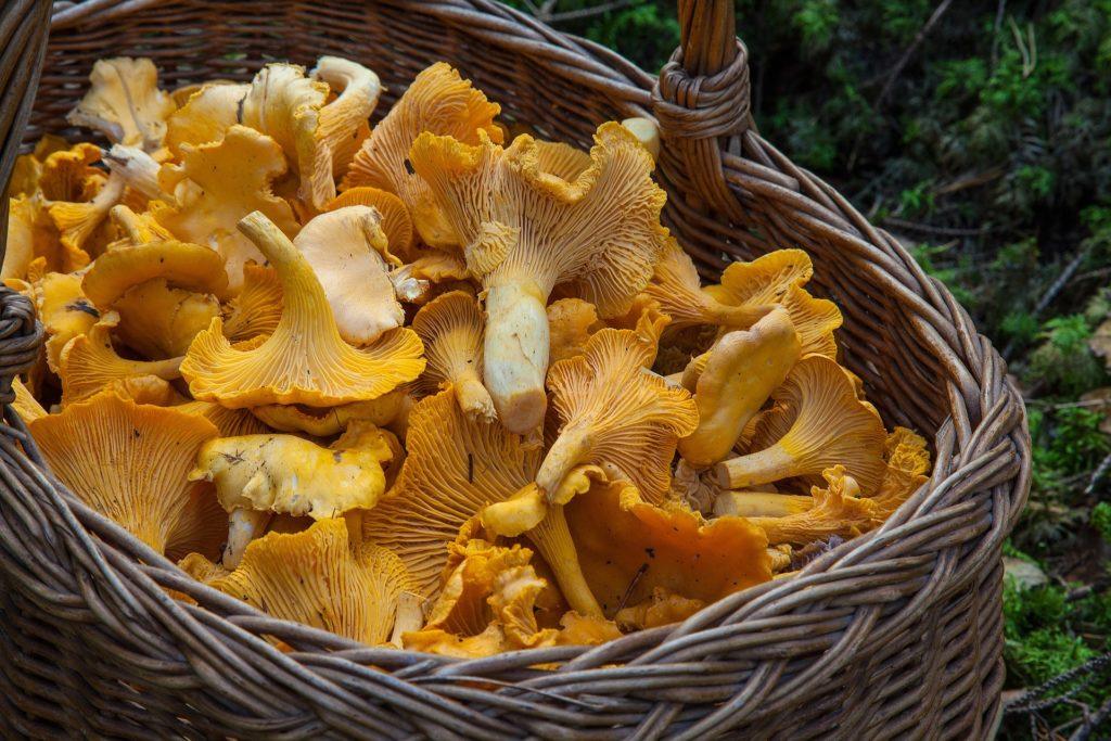 Raccolta funghi in Agordino