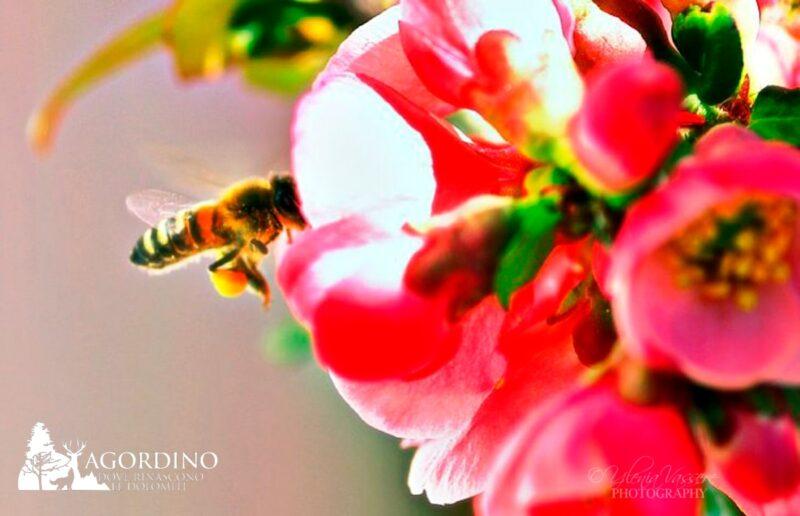 Piccola ape con le zampe cariche di polline.