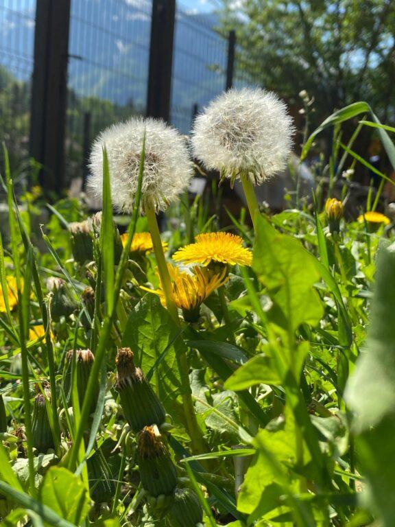 Tarassaco - I fiori delle Dolomiti agordine