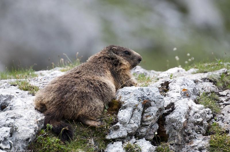Fauna delle Dolomiti - Marmotta- Claudio Ghizzo