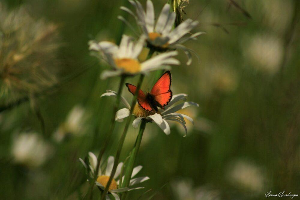 Una farfalla alpina di Serena Scardanzan
