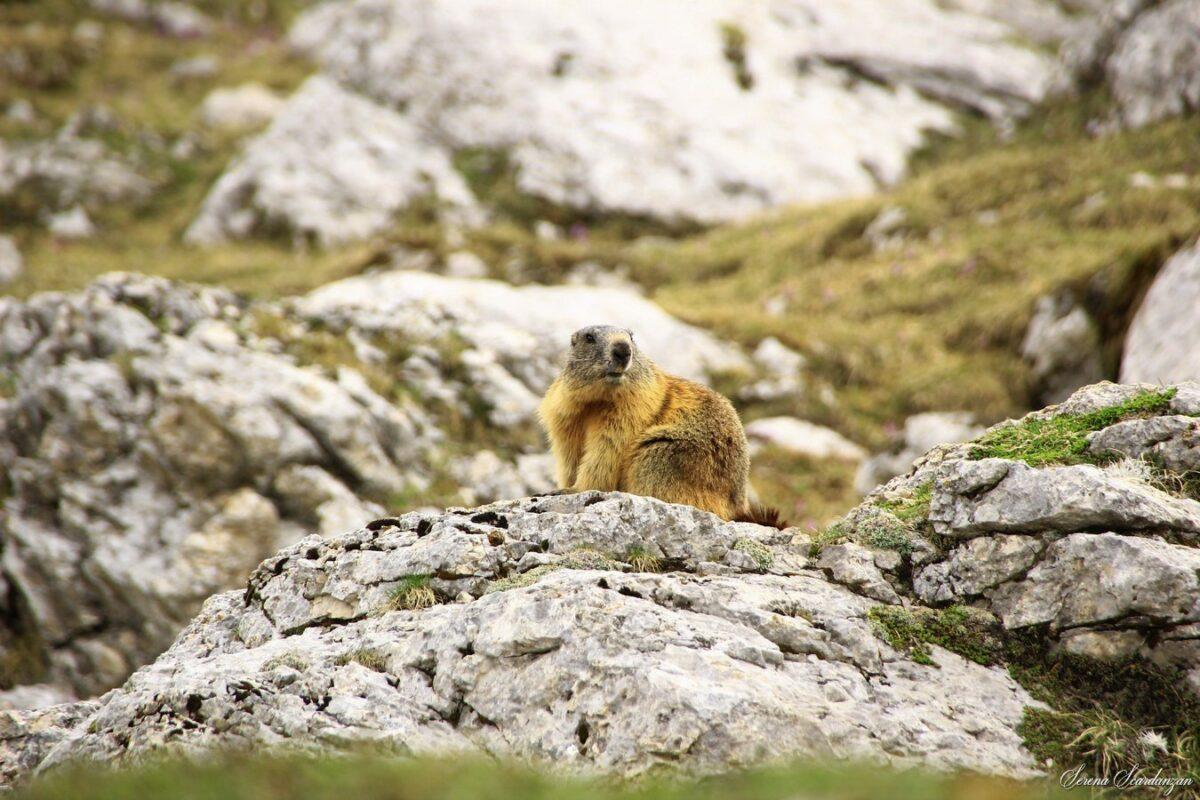 Marmotta, Regno di Fanes