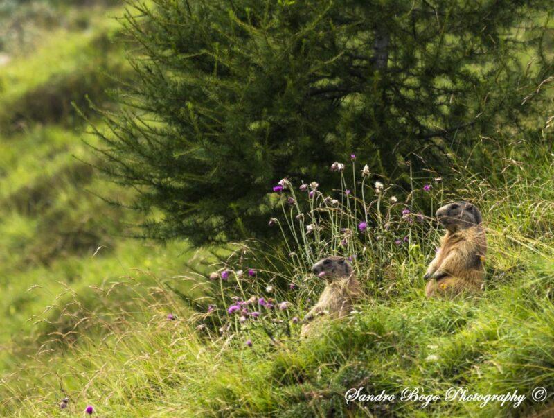 Fauna delle Dolomiti - Marmotte