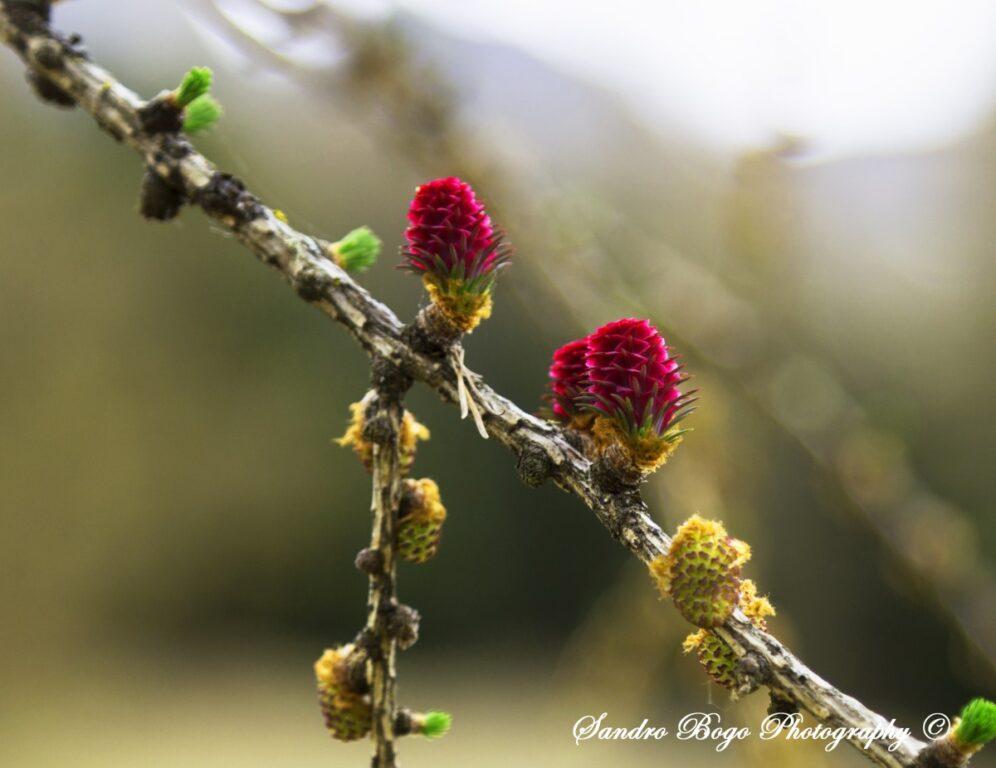"""I """"fiori"""" del Larice - Dolomiti"""
