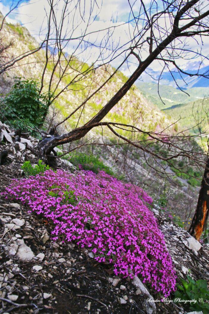 Saponaria I fiori e le piante delle Dolomiti Agordine
