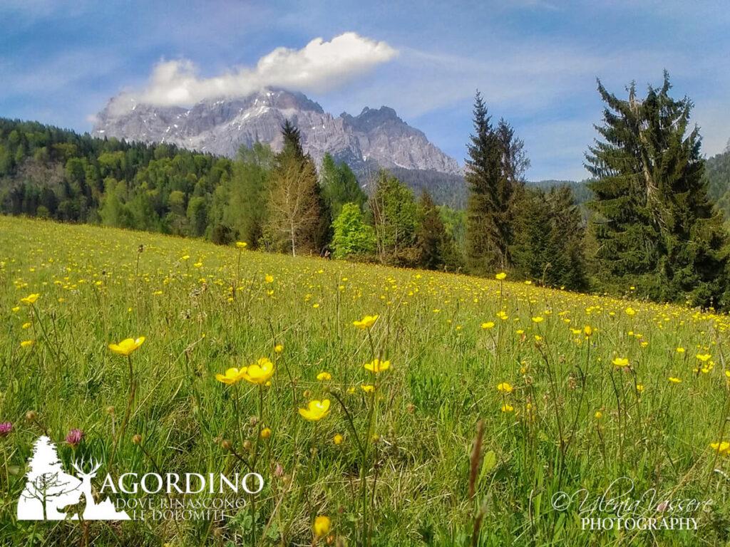 Ranuncolo I fiori delle Dolomiti Agordine