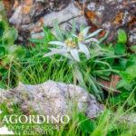 Stella Alpina I fiori delle Dolomiti agordine