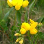 Ginestrino comune I fiori delle Dolomiti agordine