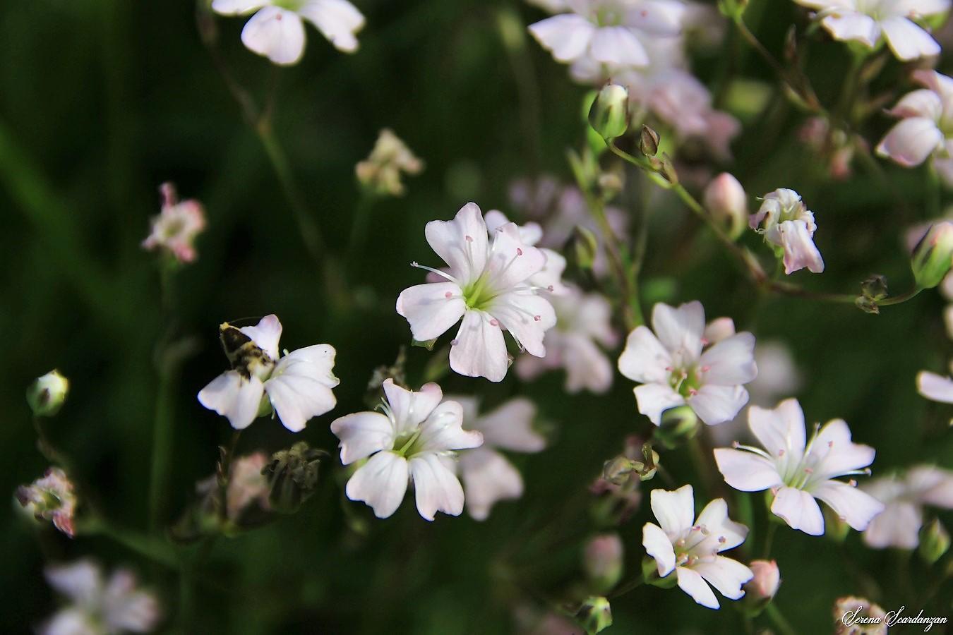 Gipsofila strisciante (Gypsophila repens) di Serena Scardanzan