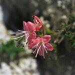 Rododendro nano o cistino (Rhodothamnus chamaecistus) di Serena Scardanzan