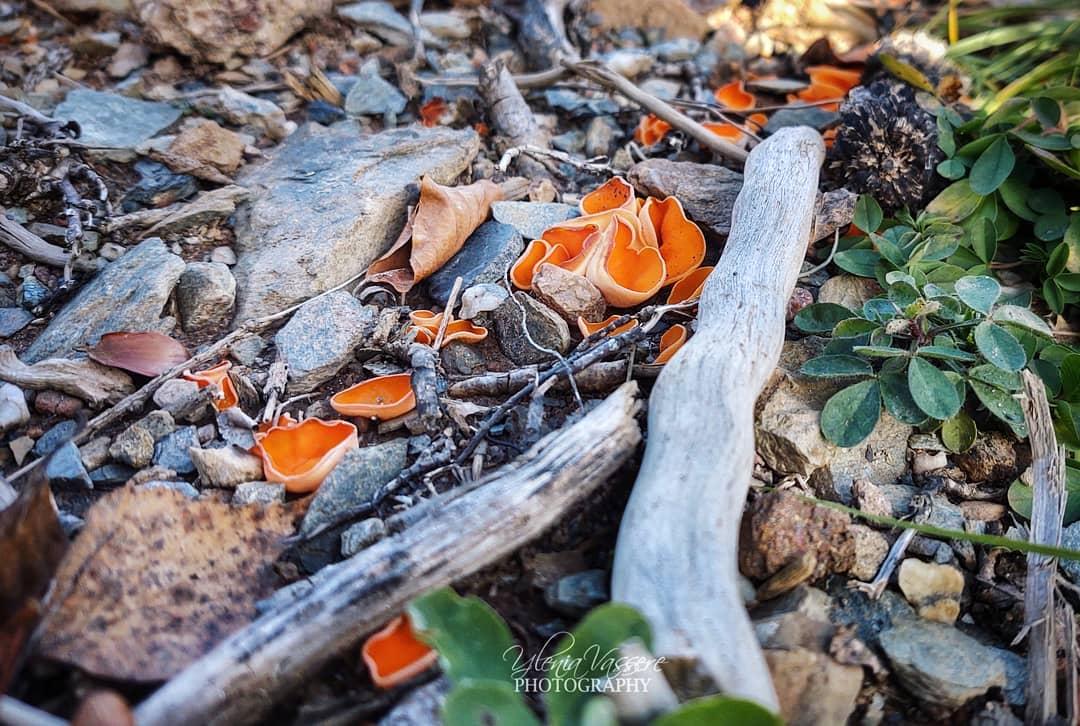 Le Coppe delle Fate : il fungo Aleuria Aurantia
