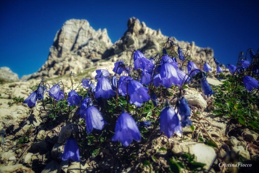 Campanule alpine sotto il pizzo le Crene - Forca Rossa- Cristina Fiocco