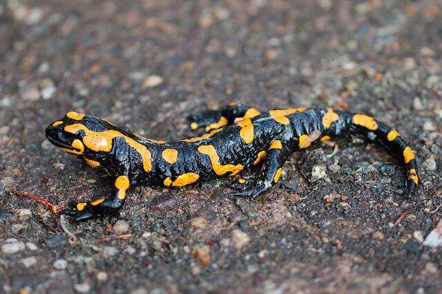 Fauna delle Dolomiti - Salamandra Pezzata
