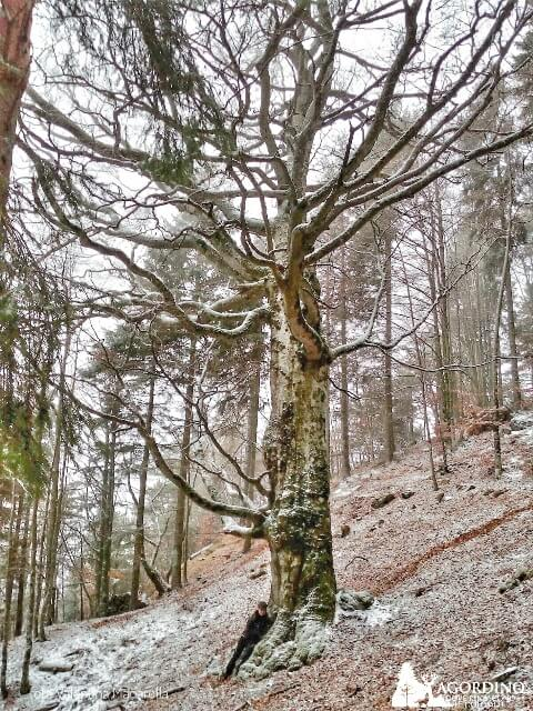 Faggio secolare a La Valle Agordina Agordino