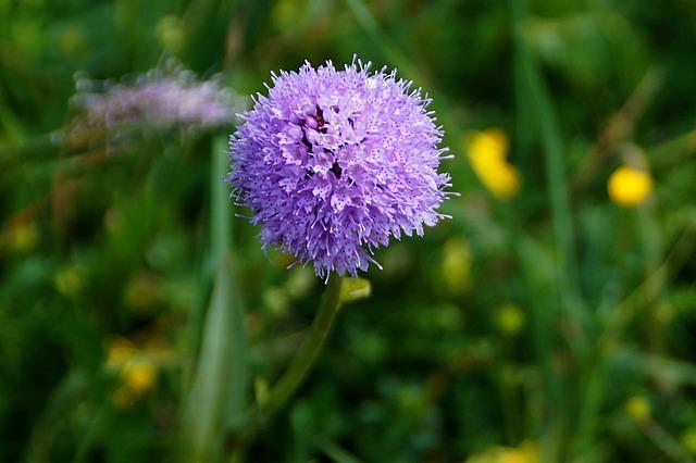 Orchidea globosa - I fiori delle Dolomiti Agordine
