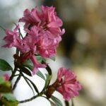 Rododendro - La rosa delle Dolomiti