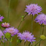 Ambretta Alpina - I fiori delle Dolomiti Agordine