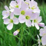 Arabetta alpina - I fiori delle Dolomiti Agordine