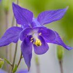 Aquilegia di Einsele o Colombina - I fiori elle Dolomiti Agordine