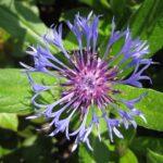 Fiordaliso di Trionfetti - I fiori delle Dolomiti Agordine