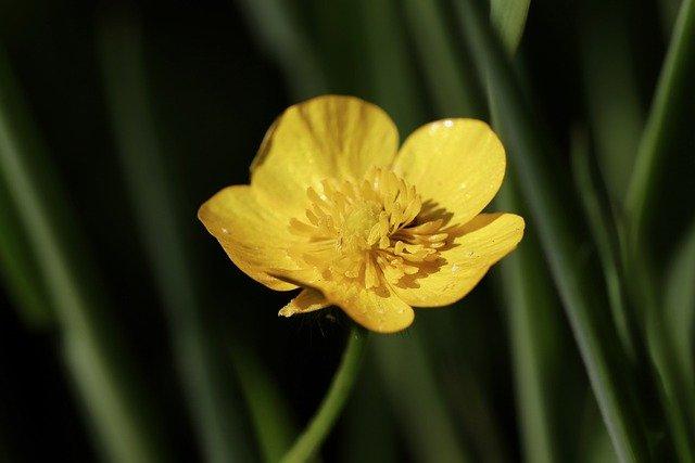 Ranuncolo ibrido - I fiori delle Dolomiti Agordine