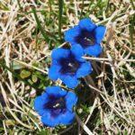 Genziana clausii - I fiori delle Dolomiti agordine