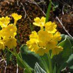 Primula orecchia d'orso - I fiori delle Dolomiti agordine