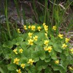 Viola Biflora - I fiori delle Dolomiti Agordine