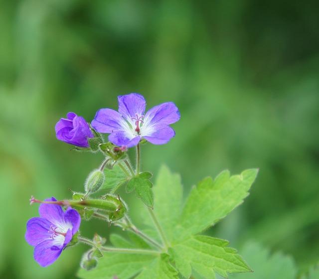 Geranio dei boschi - I fiori delle Dolomiti Agordine