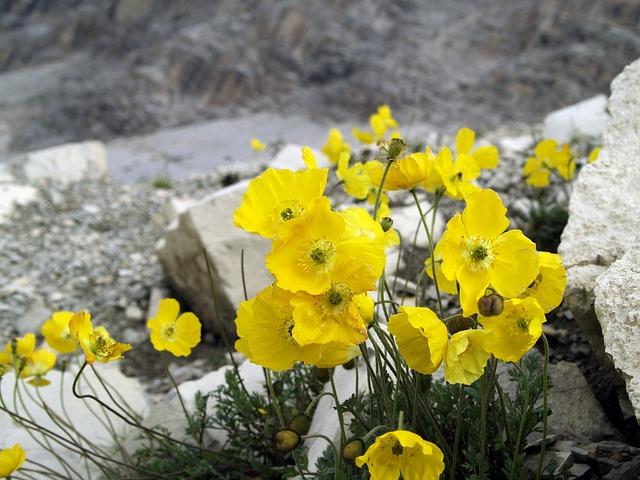 Papavero Alpino - I fiori delle Dolomiti Agordine