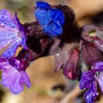 Pulmonaria australis - I fiori delle Dolomiti Agordine