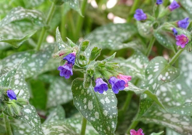Pulmonaria officinalis - I fiori delle Dolomiti Agordine