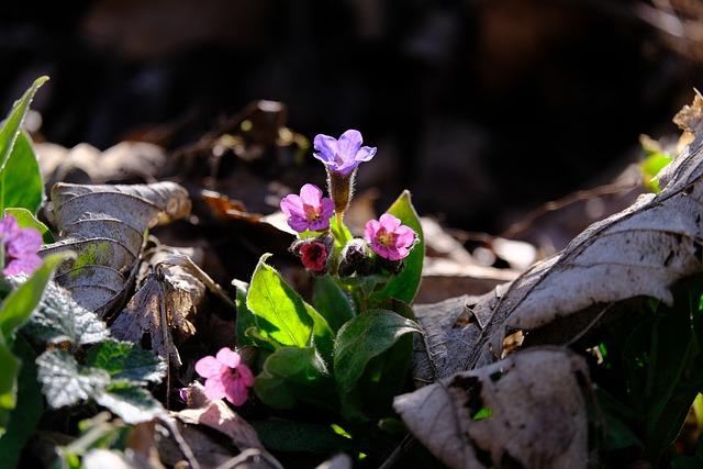 Polmonaria angustifolia - I fiori delle Dolomiti Agordine