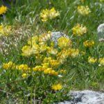 Trifoglio giallo o Vulneraria Alpina