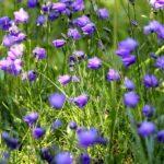 Campanula cespugliosa - I fiori delle Dolomiti Agordine