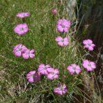 Garofano Selvatico - I fiori delle Dolomiti Agordine